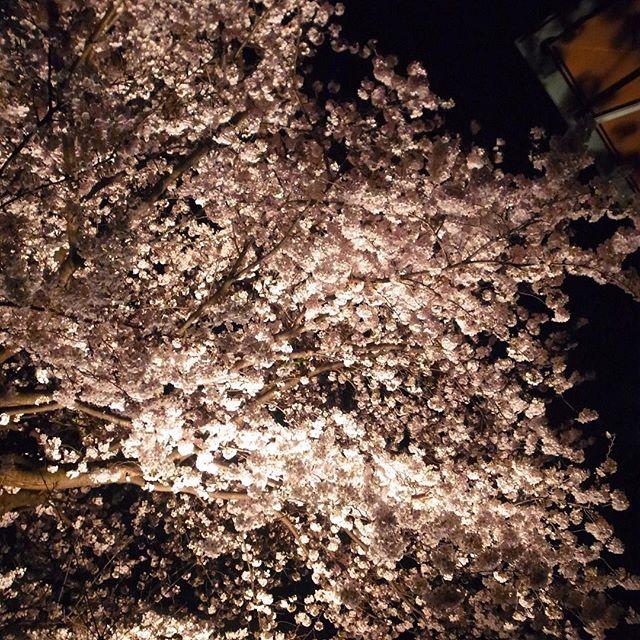 なかなか疲れて金曜の夜、帰り道はちょいと気になって寄り道、ライトアップされてる満開の桜!…あー、そんなゆっくり花見も出来ないけど、帰り道の夜桜は、そんなワタクシドモオーナー夫婦にはご褒美みたいなうれしさよ(笑)(お)