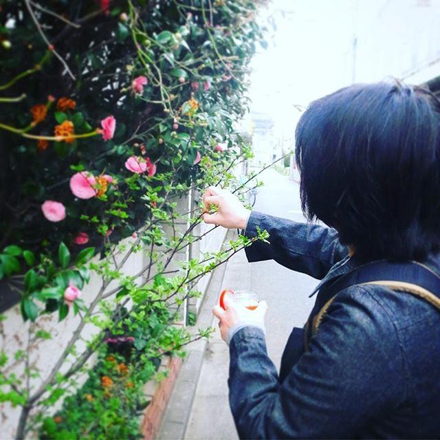 そしてたけのこと言えばやっぱり山椒の若芽は木の芽!ワタクシドモオーナー夫婦自宅は玄関脇の花壇、数年前からひょっこり生えてきた若い山椒の木はぼちぼち木の芽が取り放題!わいわい摘んで来ましたよ!(お)