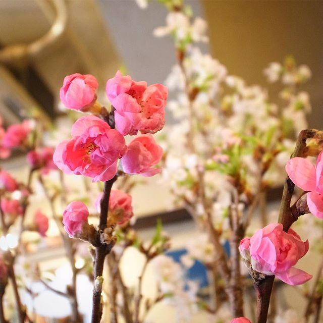 桃の節句は3月3日、キッチンスタッフはトミーちゃんのお姉さんにいただいた桜に、店長ミヤザキが朝買ってきた桃を生け合わせたら、やっぱりそこに春が来た!今夜も登場!手まり寿司もぜひぜひ!(お)